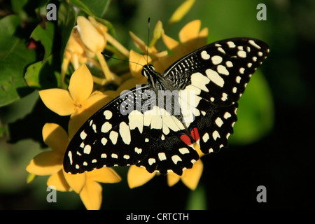 Lime Butterfly (Papilio demoleus) on yellow flowers - Stock Photo