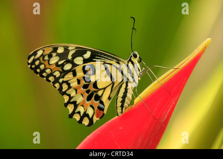 Lime Butterfly (Papilio demoleus) on a red flower - Stock Photo
