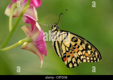 Lime Butterfly (Papilio demoleus) on purple flowers - Stock Photo