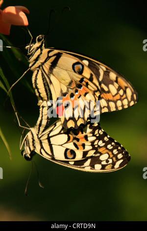 Lime Butterfly butterflies (Papilio demoleus) mating - Stock Photo