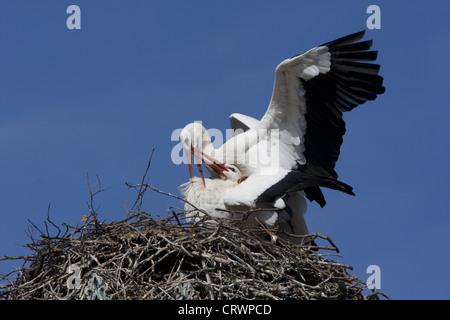 White storks mating - Stockfoto