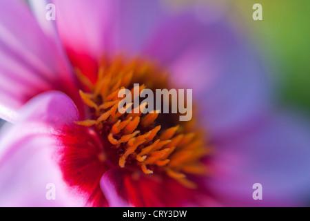 Dahlia (soft focus) - Stock Photo