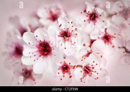 Cluster of beautiful pink cherry blossom flowers - Stock Photo