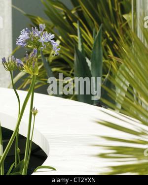 Agapanthus - Stock Photo