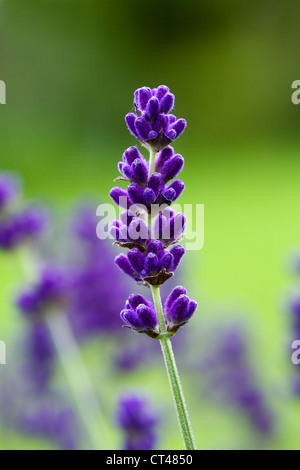 Lavandula angustifolia 'Munstead' growing in an English garden. - Stock Photo