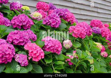 Rhode Island, Block Island. Hydrangea flowers in bloom. - Stock Photo