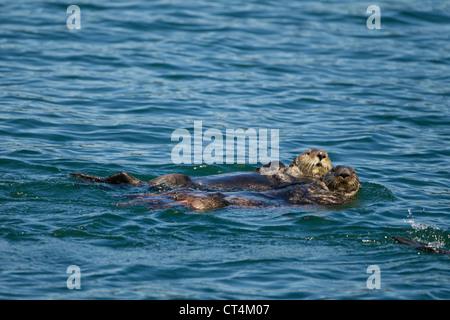 North America, USA, SE Alaska, Sea Otter, Enhydra lutris, floating on back and resting, Kake, - Stock Photo