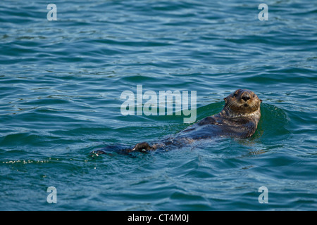 North America, USA, SE Alaska, Sea Otter, Enhydra lutris, floating on back and resting, Kake, - Stockfoto