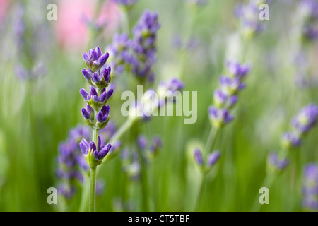 Lavender in an English garden. - Stock Photo