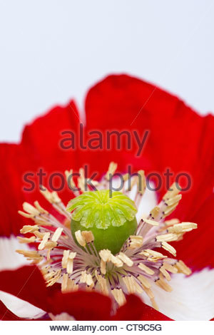 Papaver Somniferum Victoria Cross. Poppy flower against white background - Stock Photo