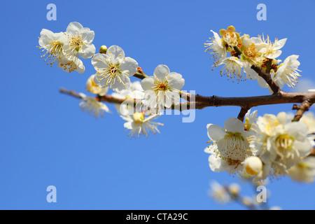 Japanese plum blossoms on blue sky background - Stock Photo