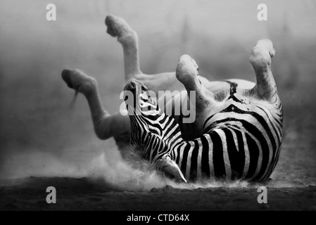 Zebra rolling on dusty white sand  (Artistic Processing) Etosha National Park - Namibia - Stock Photo