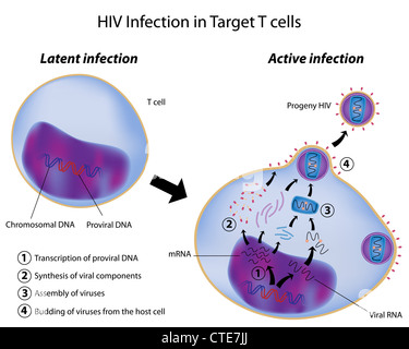Latent and Active infection by HIV - Stock Photo
