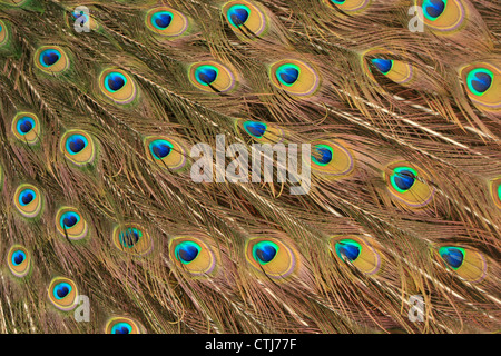 Peacock feather pattern background - Stock Photo
