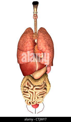 Human Anatomy Organs Lung Heart Liver Digestion Stock Photo