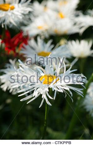 Asteraceae . Shasta daisy in an english garden. UK - Stock Photo