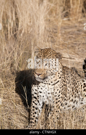 Leopard at the Dusternbrook farm in Namibia - Stock Photo