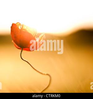 Poppy flower against the light - Stock Photo
