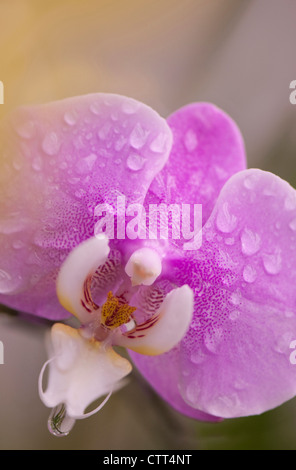 Phalaenopsis cultivar, Pink Moth orchid with water drops on the flower - Stock Photo