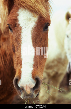 A couple of Icelandic Horses. - Stock Photo