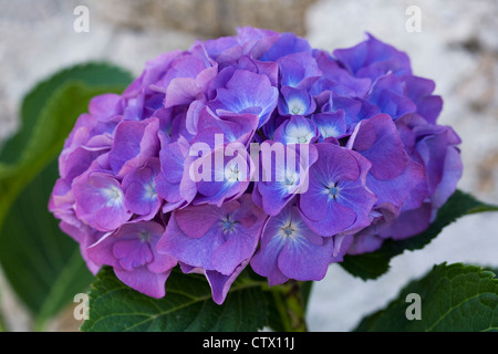 Blue Hydrangea flower against a stone wall. - Stock Photo