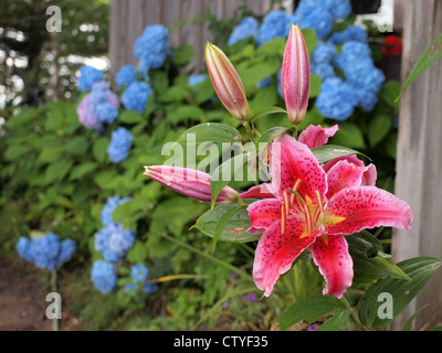 Tiger lillies and hydrangea in a private home garden, Maine, July 24, 2012, © Katharine Andriotis - Stock Photo