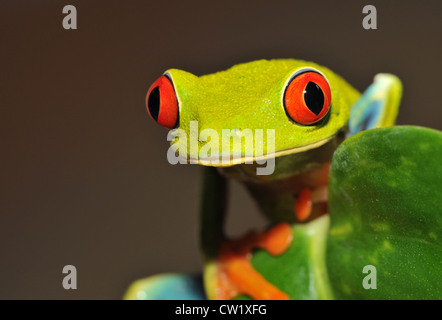 red eyed green tree or gaudy leaf frog on banana plant, lake arenal, costa rica, latin america.exotic amphibian - Stock Photo