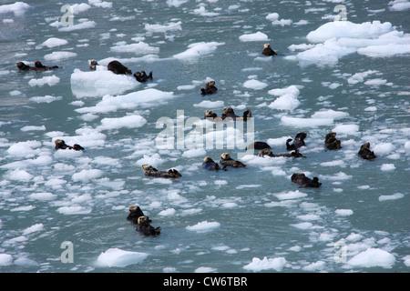 sea otter (Enhydra lutris), in Prince William Sound, USA, Alaska - Stock Photo