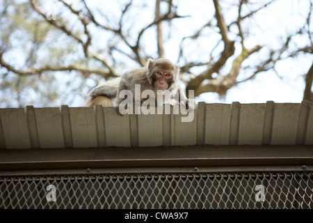 Wild long tailed macaque on roof, low angle - Stockfoto