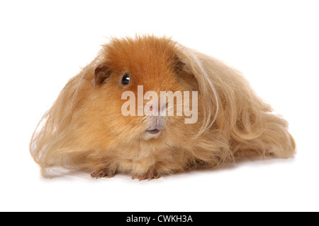 guinea pig dating service Bds = boar dating service - male /male bonding  (325 guinea pigs removed from one property) rescue 15 new arrivals, more coming soon single male.