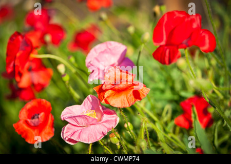 Red and pink poppies in summer garden - Stock Photo