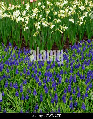 muscari armeniacum planting instructions