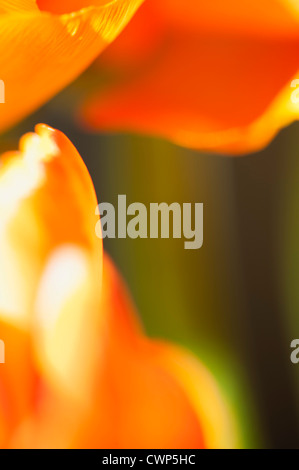 Ranunculus flower petals, extreme close-up - Stockfoto