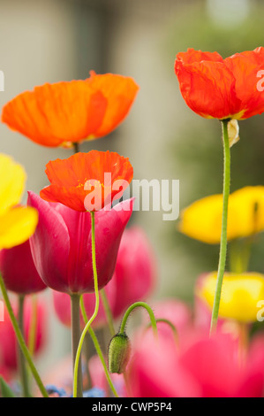 Poppies and tulips in bloom - Stock Photo