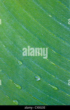 Extreme Close Up of Green Leaf with Dew Drops - Stock Photo