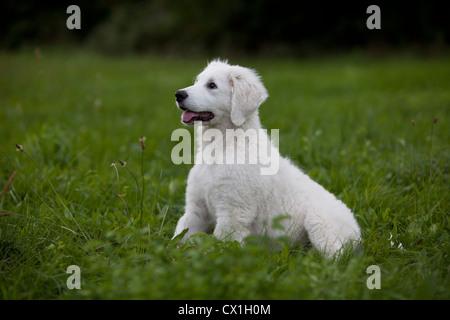 hungarian shepherd dog stock photo 416115 alamy. Black Bedroom Furniture Sets. Home Design Ideas