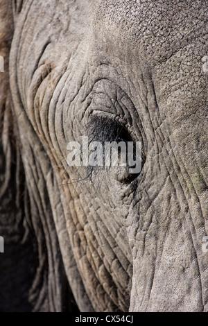 Extreme close-up of an old male African elephant (loxodonta africana), Moremi, Botswana - Stock Photo