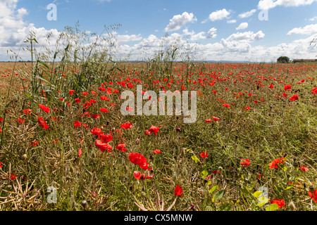 RED/SCARLET POPPIES GROWING IN FILED OF OIL SEED RAPE IN SUMMER IN WILTSHIRE ENGLAND UK - Stock Photo