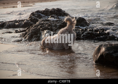 A dog enjoys exploring on the beach at North Berwick in Scotland - Stock Photo