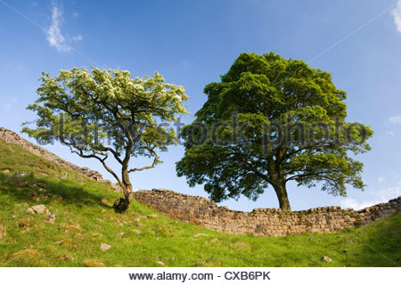 Iconic tree at Sycamore Gap on Hadrian's Wall National Trail in Northumberland - Stock Photo