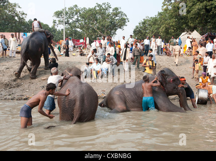Young men, mahouts, washing tusked elephants in the holy River Ganges in preparation for Sonepur Cattle Fair, Bihar, - Stock Photo