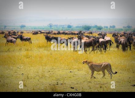 cheetah hunting - Stockfoto