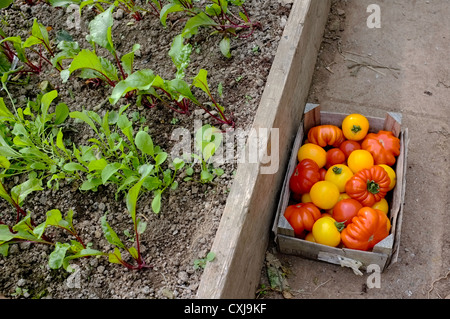 A box of freshly picked tomatoes in a greenhouse next to salad leaves - Stock Photo
