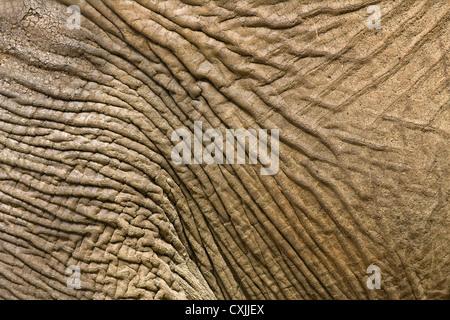Elephant (Loxodonta africana) hide skin close up - natural abstract texture - Stock Photo