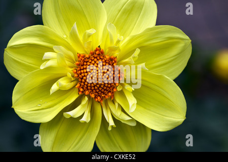 Dahlia, colarette form - Stock Photo