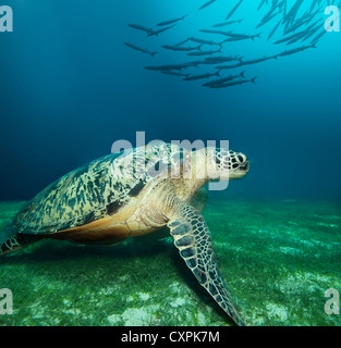 Huge sea turtle on the seaweed bottom with school of barracudas - Stock Photo