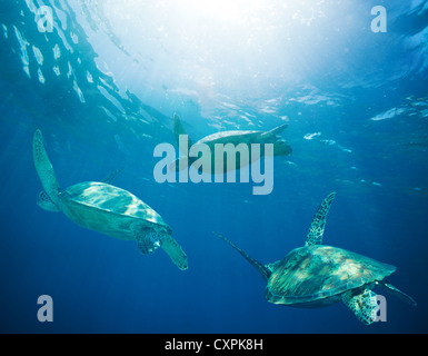 school of sea turtles migrating, swimming - Stock Photo