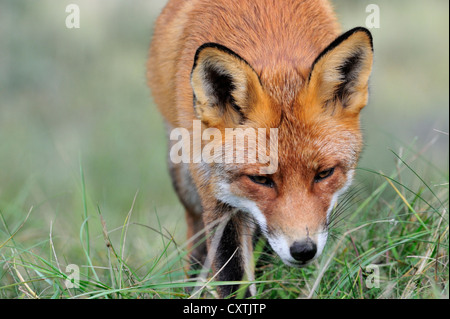 Close-up of Red fox (Vulpes vulpes) hunting and following scent trail of prey in meadow - Stockfoto