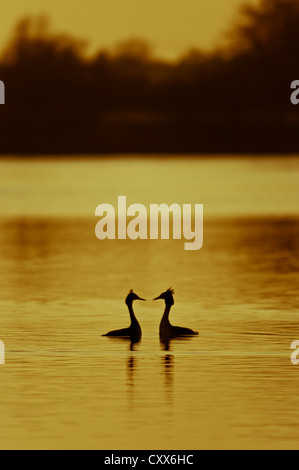 Courting Great Crested Grebes at sunset - Stock Photo