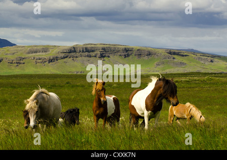 Icelandic horses, Suðurland, Sudurland, South Iceland, Iceland, Europe - Stock Photo
